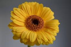 在灰色背景的黄色大丁草 免版税库存图片