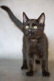 在灰色背景的黑小猫 免版税库存照片