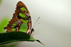 在灰色背景的绿沸铜(下面)蝴蝶 库存图片