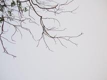 在灰色背景的死的树 免版税库存图片