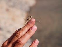 在灰色背景隔绝的手指的蜻蜓 库存图片