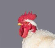 在灰色背景隔绝的白色雄鸡画象 免版税库存照片
