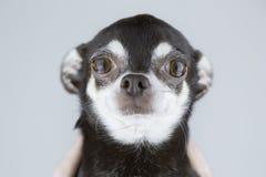 在灰色背景隔绝的美丽的奇瓦瓦狗狗画象  图库摄影