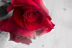在灰色背景,透明度作用的一朵红色玫瑰 库存照片