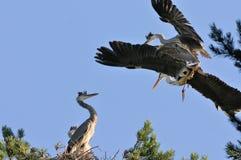 在灰色苍鹭附近巢  库存图片