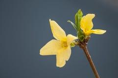 在灰色蓝色背景的黄色花 免版税库存照片