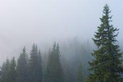 在灰色薄雾盖的杉木森林 免版税库存照片