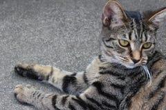 在灰色颜色的一只美丽的猫 免版税库存照片