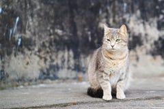 在灰色backgound的街道灰色猫 库存照片