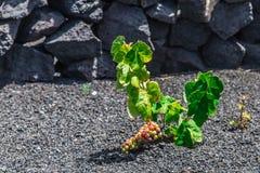 在灰领域的黄雀色葡萄 免版税库存图片