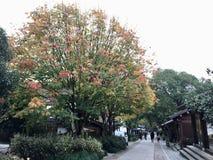 在灵隐寺路的一棵树 库存照片