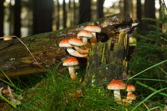 在烂掉树的蘑菇 库存图片