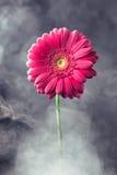 在烟的桃红色大丁草花 免版税库存图片