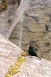 在烟秋天的Knipolegus nigerrimus 图库摄影