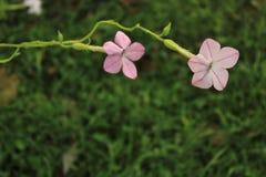在烟草属植物的两朵花,也告诉Tobacco Flower或者开花的烟草 免版税库存图片