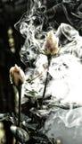 在烟覆盖的两朵白色庭院玫瑰 图库摄影