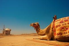 在烧焦的太阳下的骆驼 库存图片