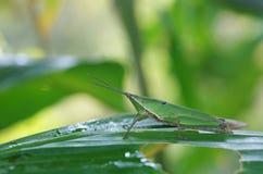 在热带叶子的短有角的蚂蚱 免版税图库摄影