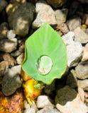 在热带叶子的水滴 图库摄影