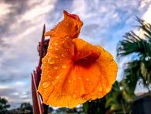 在热带橙色花的雨珠 免版税库存照片