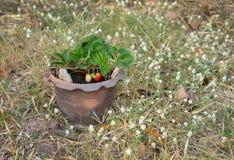 在热带气候的生长草莓 库存图片