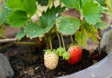 在热带气候的生长草莓 库存照片