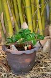 在热带气候的生长草莓 图库摄影