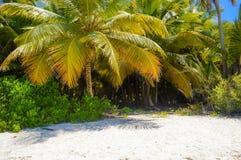 在热带沙滩的可可椰子树在多米尼加共和国 免版税库存图片