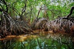 在热带河的三角洲的美洲红树。斯里兰卡 库存图片