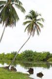 在热带河的椰子倾斜 多云日 免版税库存照片