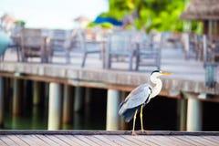 在热带海岛的灰色苍鹭马尔代夫的 库存照片