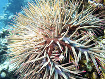 在热带海底部的冠刺海星,水下 库存照片