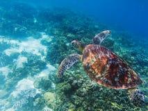 在热带海滨水下的照片的海龟 在海中逗人喜爱的绿海龟 库存图片