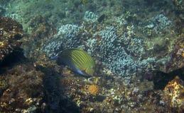 在热带海滨水下的照片的矛状棘鱼 珊瑚礁动物 免版税库存图片