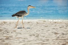 在热带海滩的灰色苍鹭 免版税图库摄影