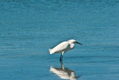 在热带海滩狩猎的Snowey白鹭在浅水区的食物的 库存照片