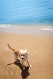在热带海滩的愉快的明亮的奇瓦瓦狗 免版税库存图片