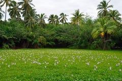 在热带湖的百合夏威夷的大岛 库存图片