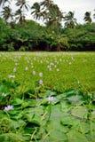 在热带湖的百合夏威夷的大岛 免版税图库摄影