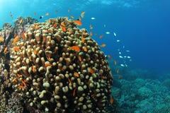 在热带珊瑚礁的Anthias 免版税库存照片