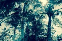 在热带纽埃太阳的可可椰子树通过叶状体飘动 免版税库存图片