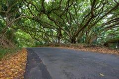 在热带路的结构树的机盖 免版税库存照片
