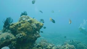 在热带鱼和珊瑚礁附近的轻潜水员游泳,当海潜水时 潜水者潜水的水下的海洋和观看 影视素材