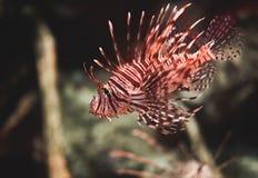 在热带水族馆的滑稽的鱼 免版税库存照片
