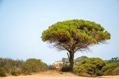 在热的含沙沿海小山的一棵杉树 免版税库存照片