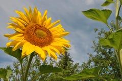 在热的夏天太阳的光芒的明亮的向日葵 图库摄影