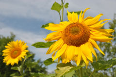 在热的夏天太阳的光芒的明亮的向日葵 免版税库存图片