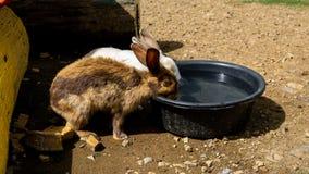 在热的天期间,两只兔子饮用水 图库摄影