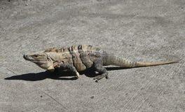 在热的太阳的鬣鳞蜥 免版税库存图片
