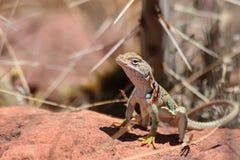 在热的岩石的抓住衣领口的蜥蜴 库存照片